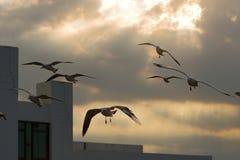 Стадо чайок летая на twilight время во время неба захода солнца Концепция животного надежды Селективный фокус и малая глубина пол Стоковое Изображение