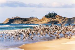 Стадо чайок принимая полет на пляж Орегона стоковая фотография rf