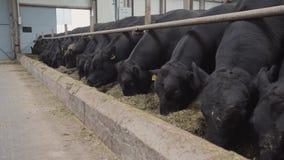 Стадо черноты устрашает еду сена от стойла на амбаре металла фермы акции видеоматериалы