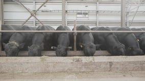 Стадо черноты устрашает подавая сено от конюшни на амбаре металла фермы акции видеоматериалы