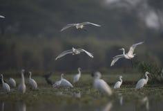 Стадо Egrets Стоковые Изображения