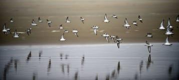 Стадо Starlings на пляже Стоковое Изображение