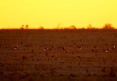 Стадо starlings сфотографировано против лучей восходящего солнца Стоковые Изображения RF
