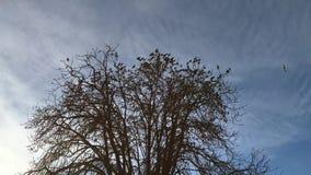 Стадо Sturnus starlings Vulgaris акции видеоматериалы