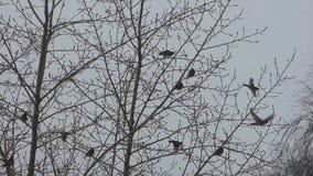 Стадо waxwings сидя на деревьях сток-видео