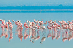 Стаи фламингоа Стоковое Фото