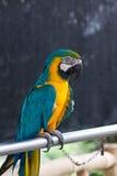 сталь трубы macaw сидя стоковое фото rf