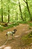 Старая датская собака указателя в поводке на пути в лесе Стоковые Фото