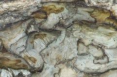 Старая березовая древесина Стоковое Фото