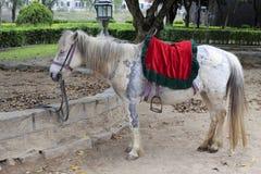 Старая белая лошадь Стоковое Изображение RF