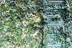 Старая дверь запертая с крышкой лозы дверь Стоковые Изображения