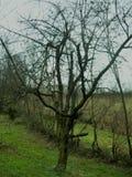 Старая вишня Стоковая Фотография