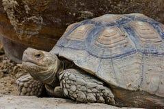 Старая гигантская черепаха Стоковая Фотография RF