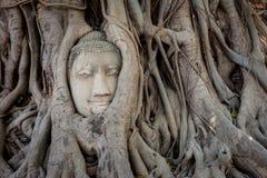 Старая голова Будды внутри дерева Стоковые Фотографии RF