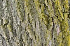 Старая грубая кора дерева с мхом стоковое изображение