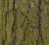 Старая деревянная текстура и лишайник на коре лиственницы hackmatack стоковые изображения rf