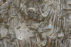 Старая древесина с заржаветыми штапелями Стоковые Фотографии RF