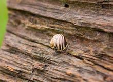 старая древесина улитки Стоковая Фотография RF