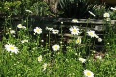 Старая деревянная загородка и белые маргаритки Стоковые Фото