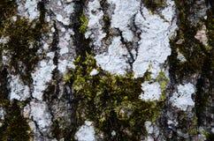 Старая деталь хобота осины Стоковая Фотография RF