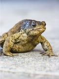 старая жаба Стоковая Фотография