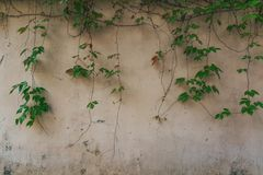 старая желтая стена с плющом Стоковые Фото