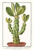 Старая иллюстрация завода angulari arborescens euphorbium Tithymalus Стоковые Фото