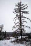 Старая лиственница Стоковое Изображение