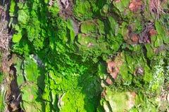 Старая истирательная расшива сосны с зеленым мхом, текстурой леса деревянной Зима, осень, лето или время весны в парке Стоковые Изображения RF