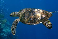 Старая и любознательная черепаха стоковое изображение rf