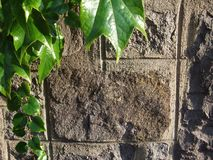 Старая каменная стена и зеленая предпосылка плюща Стоковые Фотографии RF