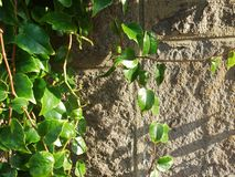 Старая каменная стена и зеленая предпосылка плюща Стоковые Фото