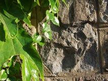 Старая каменная стена и зеленая предпосылка плюща Стоковое Изображение