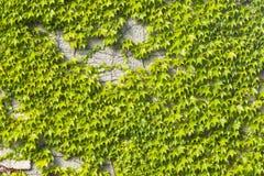 Старая каменная стена покрытая общим или европейским плющом, винтовой линией Hedera, концом-вверх текстуры предпосылки, селективн Стоковые Фото