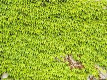 Старая каменная стена предусматриванная общим или европейским концом-вверх текстуры предпосылки винтовой линии Hedera плюща, селе Стоковое фото RF