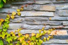 Старая каменная стена с заводом плюща осени Стоковые Изображения RF