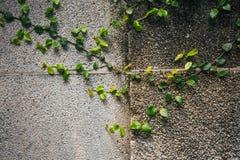 Старая каменная стена с плющом Стоковое фото RF
