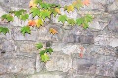 Старая каменная стена с плющом Стоковые Изображения RF
