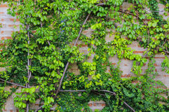 Старая кирпичная стена с зелеными лист стоковые изображения