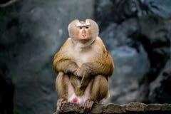 Старая коричневая обезьяна Стоковое Изображение
