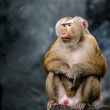 Старая коричневая обезьяна Стоковое Изображение RF