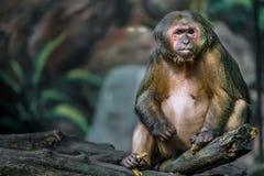 Старая коричневая обезьяна Стоковое фото RF