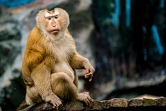 Старая коричневая обезьяна Стоковая Фотография RF