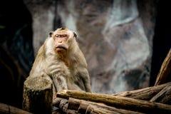 Старая коричневая обезьяна Стоковая Фотография