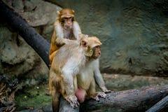 Старая коричневая обезьяна Стоковые Изображения