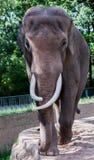 Старая корова слона Стоковое Изображение