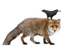 Старая красная лисица, vulpes Vulpes, 15 лет старых Стоковые Изображения