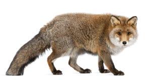Старая красная лисица, vulpes Vulpes, 15 лет старых Стоковое фото RF