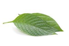 старая листьев принципиальной схемы зеленая изолированная новая Стоковые Изображения