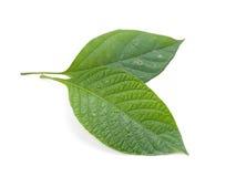 старая листьев принципиальной схемы зеленая изолированная новая Стоковое Изображение RF